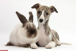 29256-Brindle-and-white-Whippet-pup-and-rabbit-white-background.jpg