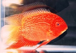 "Heros severum ""RED"""